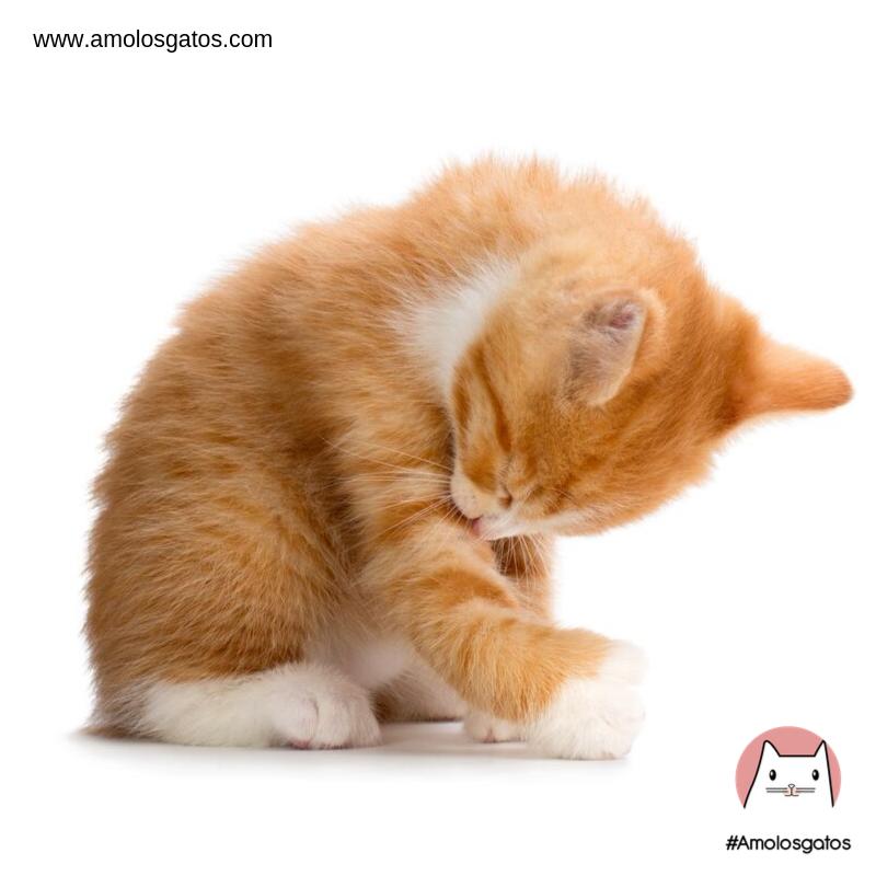 ¿Por-qué-mi-gato-tiene-la-lengua-áspera_-2