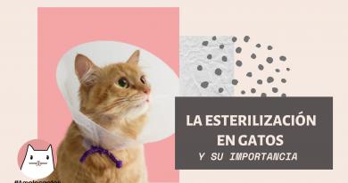 La esterilización en gatos y su importancia