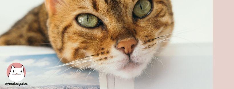 como saber si tu gato te quiere